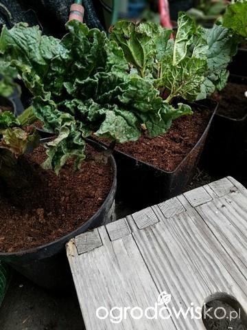 Warzywa I Poletko Pod Przyszły Ogród Na Pożyczonej Ziemi