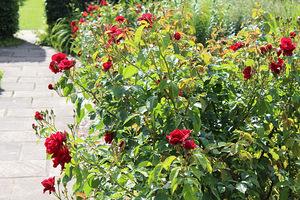 Róże należy zacząć przygotowywać do zimy już teraz, aby rozkwitły w następnym sezonie wegetacyjnym w pełnej krasie