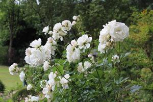Wiele z róż, które sklasyfikowano jako stare róże ogrodowe, są bardzo odporne na niskie temperatury, a innym, jak mieszańcom herbatnim - mrozy mogą wyrządzić znaczne szkody