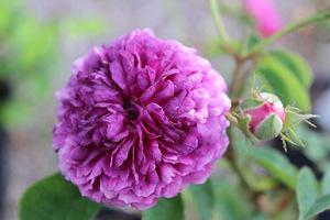 """Róża 'Russelliana"""" to odmiana na słabsze gleby i do półcienia,  ale dość wrażliwa na mróz"""
