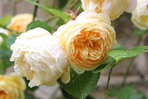 """Róża """"Crocus Rose"""" lubi pełne słońce, żyzną glebę i wytrzymuje mrozy do minus 20 stopni"""
