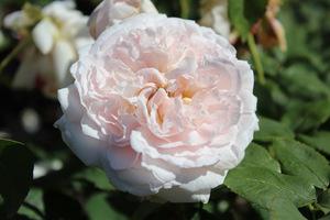 """Róża """"Miss Alice"""" ma piękny zapach, średni wzrost i powtarza kwitnienie"""