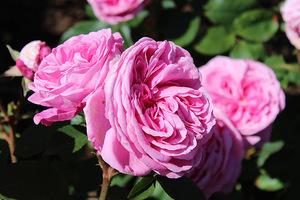 """Róża """"Gertrude Jekyll"""" ma piękne, podwójne, różowe kwiaty od lipca do września i szaro-zielone liście.  Kwiaty mają charakterystyczny, staroświecki zapach"""