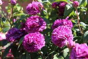 """Róża galijska """"Hippolyte"""" powstała przed 1842 roku, a jej mrozoodporność określa się na - 32 stopnie C"""