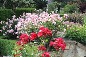 Każda róża, która ma za sobą długi i zadbany sezon wegetacyjny, będzie w stanie lepiej znieść najgorsze nawet mrozy
