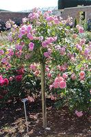 Różę pienną powinno się przygiąć i przysypać miejsce szczepienia ziemią
