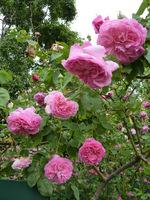 "Róża ""Madame Lauriol de Barny"" z 1868 roku  to doskonała róża burbońska o mocnym zapachu"