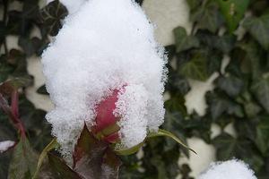 Pozwolenie różom na kwitnienie i zawiązywanie owoców mobilizuje je same do przejścia w stan spoczynku