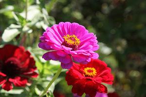 Rośliny jednoroczne często sadzimy w doniczkach i innych pojemnikach dobierając gatunki rosnące w tym samym pojemniku zgodnie z wymaganiami