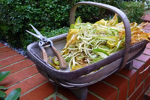 Liście funkii (Hosta) obcinamy i wyrzucamy na kompost