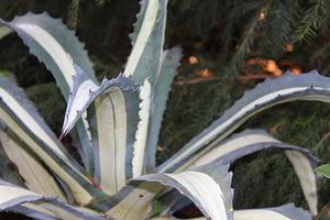 Ciepłolubne rośliny np. agawy, oleandry, czy bugenwille wnosimy bezwzględnie do pomieszczeń