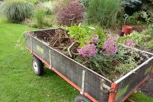 Jest to świetny sposób, aby uzyskać więcej roślin za darmo, odmłodzić swoje rośliny i odmienić ogród. Zagęszczone rabaty przerzedzamy