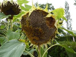 Okres kwitnienia słonecznika trwa od lipca do października, w zależności od terminu siewu. Możemy je pozostawić do wiosny jako pokarm dla ptaków. Grube łodygi nie nadają się na kompost