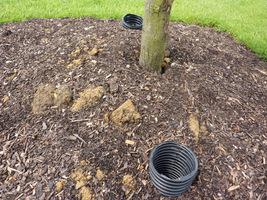 Drzewa świeżo posadzone kopczykujemy ściółką dla ochrony bryły korzeniowej przed mrozem