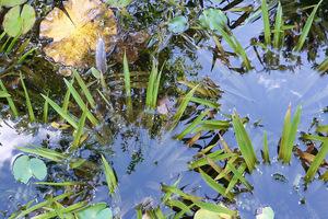 Suche liście przez kilka dni unoszą się na wodzie i wtedy łatwo je wyłowić. Kiedy opadną na dno nie będzie to już możliwe. Nie dotyczy to osoki aloesowatej ((Stratiotes aloides), która na zimę opada na dno