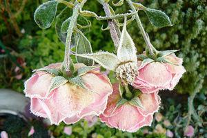 Róże zmrożone pierwszymi przmmrozkami, fot. Małgorzata Kubiszewska