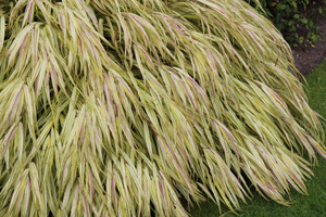 Jedna z najpiękniejszych ozdobnych traw, wybrana rośliną roku 2009 w Anglii