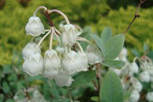 Zenobia pulverulenta jest mało znanym krzewem z rodziny Ericacaea, czyli wrzosowate