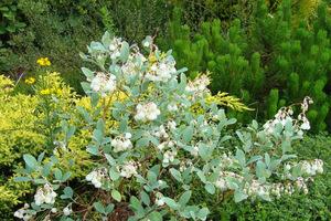 Zenobia wymaga bezwzględnie gleby o odczynie kwaśnym, przepuszczalnej i wilgotnej oraz stanowiska słonecznego lub półcienistego