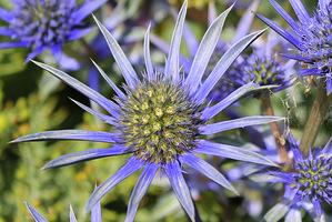 Kwiatostany można łatwo rozpoznać po baterii ostrych wypustek wokół wypukłego środka wypełnionego drobnymi kwiatkami