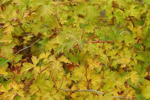 Tawulec pogięty (Stephanandra incisa) należy do rodziny różowatych i rośnie w lasach Korei i Japonii, fot. Łucja Badarycz