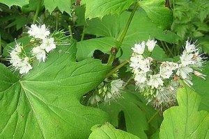 Czerpatka kanadyjska jest to wieloletnia bylina, która nie rzuca się w oczy, nie zachwyca spektakularnym kwitnieniem, ale ma swoje zalety