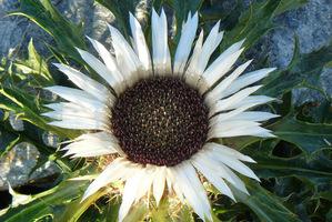 Dziewięćsił bezłodygowy (Carlina acaulis) to krótkowieczna bylina potocznie nazywana ostem górskim z powodu kolczastych liści