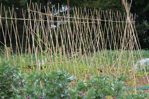 Podpory z bambusów w warzywniku