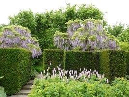 Niebieska wisteria