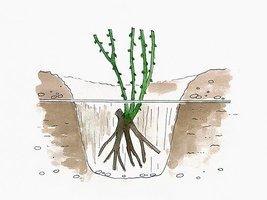 Sadzimy w głębokie dołki zaprawione żyzną ziemią z dodatkiem rozłożonego obornika bydlęcego lub innego materiału organicznego. Miejsce szczepienia powinno się znaleźć 5 cm poniżej poziomu gruntu.