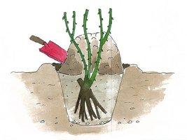 Jesienią lub wczesną wiosną można krzewy po posadzeniu dodatkowo zasypać ziemią dla ochrony przed wysuszającym wiatrem i mrozem. Wiosną po ociepleniu, kiedy róże wypuszczają pąki liściowe, kopczyki rozgarniamy.