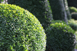 Najlepsze krzewy to takie, które mają wiecznie zielone liście, rosną wolno i gęsto, co czyni je odpowiednimi do tworzenia nawet najbardziej wymyślnych kształtów (na zdj. bukszpany)