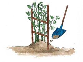 Róże pnące chronimy tak jak okulizowane. Obsypujemy ziemią do wosokości 20 cm i dodatkowo krzew możemy okryć słomianymi matami