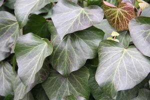 Bluszcz (Hedera) to efektowne, zimozielone pnącze, które możemy poprowadzić po metalowych obeliskach lub innej konstrukcji