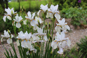 """Iris sanquinea """"Albiflora"""""""
