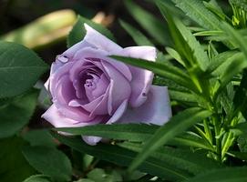 """""""Mainzer Fastnacht"""" - róża wielkokwiatowa zaliczana do grupy tzw. niebieskich róż, fot. Anna Ścigaj."""