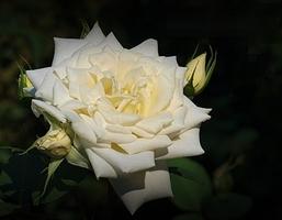 """""""Mount Shasta"""" - popularna odmiana, moja ulubiona biała róża, fot. Anna Ścigaj."""
