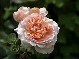 """""""André le Nôtre"""" - jedna z nowszych odmian, wielokrotnie nagradzana. Róża o dużych kwiatach i intensywnym zapachu starych róż, z nutą cytryny, fot. Anna Ścigaj."""