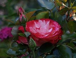 """""""Nostalgie"""" - przedstawicielka serii róż nostalicznych, fot. Anna Ścigaj."""