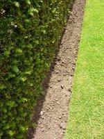 Trawnik przy cisowym żywopłocie