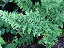 """Polystichum setiferum """"Plumosum Densum"""" mają wielką wartość dla ogrodnika. Mogą być stosowane na rabatach, w ogrodach skalnych i leśnych jako tło dla innych roślin"""