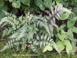 Athyrium niponicum - wietlica japońska ma sporo kolorowych odmian