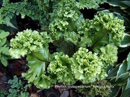 "Phyllitis scolopendrium ""Ramosa Nana"""