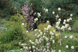 Może być sadzona w grupach krzewów o podobnych wymaganiach, takich jak enkiant, pieris, rożanecznik lub krzewy iglaste