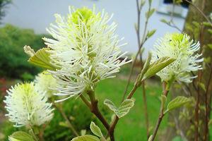 Fothergilla kwitnie wiosną, w maju i czerwcu, zazwyczaj przed liśćmi, a kwiaty ma bardzo oryginalne, bezpłatkowe, kremowo-żółte