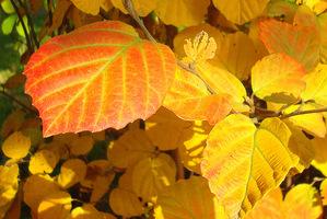 Ta jesienna barwa jest piękniejsza w słońcu, jednak należy wtedy pamiętać o zapewnieniu wilgoci w glebie
