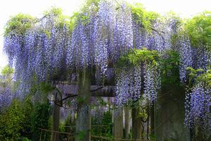 Wisteria (glicynia, słodlin) jest jednym z najpiękniejszych pnączy, w dodatku o pachnących kwiatach