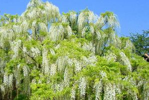 Kwiatostany wisterii mają postać długiego grona. Kolor kwiatów to biały i niebiesko-fioletowy, są też odmiany o pełnych kwiatach