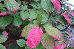 Actinidia kolomikta to silne pnącze uprawiane głównie dla pięknych dwubarwnych liści