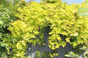 """Chmiel zwyczajny """"Aurea"""" ma jaskrawożółte liście, jednak to pnącze mimo swych walorów ozdobnych potrafi być uciążliwe"""